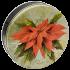 1S Poinsettia